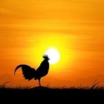 תרנגול בשקיעה מוקטן